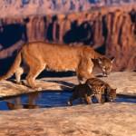 puma y su cría